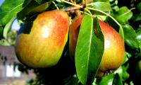 pears_in_evening_light-700.jpg
