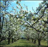 blossoms orchard